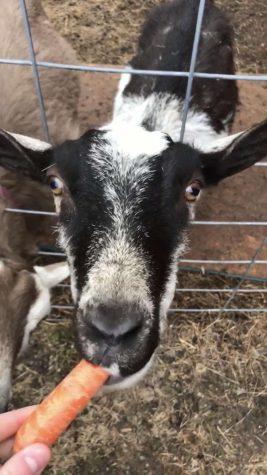 Fern the goat eating carrot