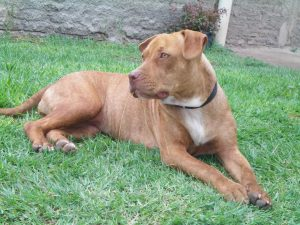 The American Pitbull is the controversial dog breed in America. Is their reputation well deserved?