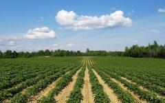 Opinion: GMO Free, Really?