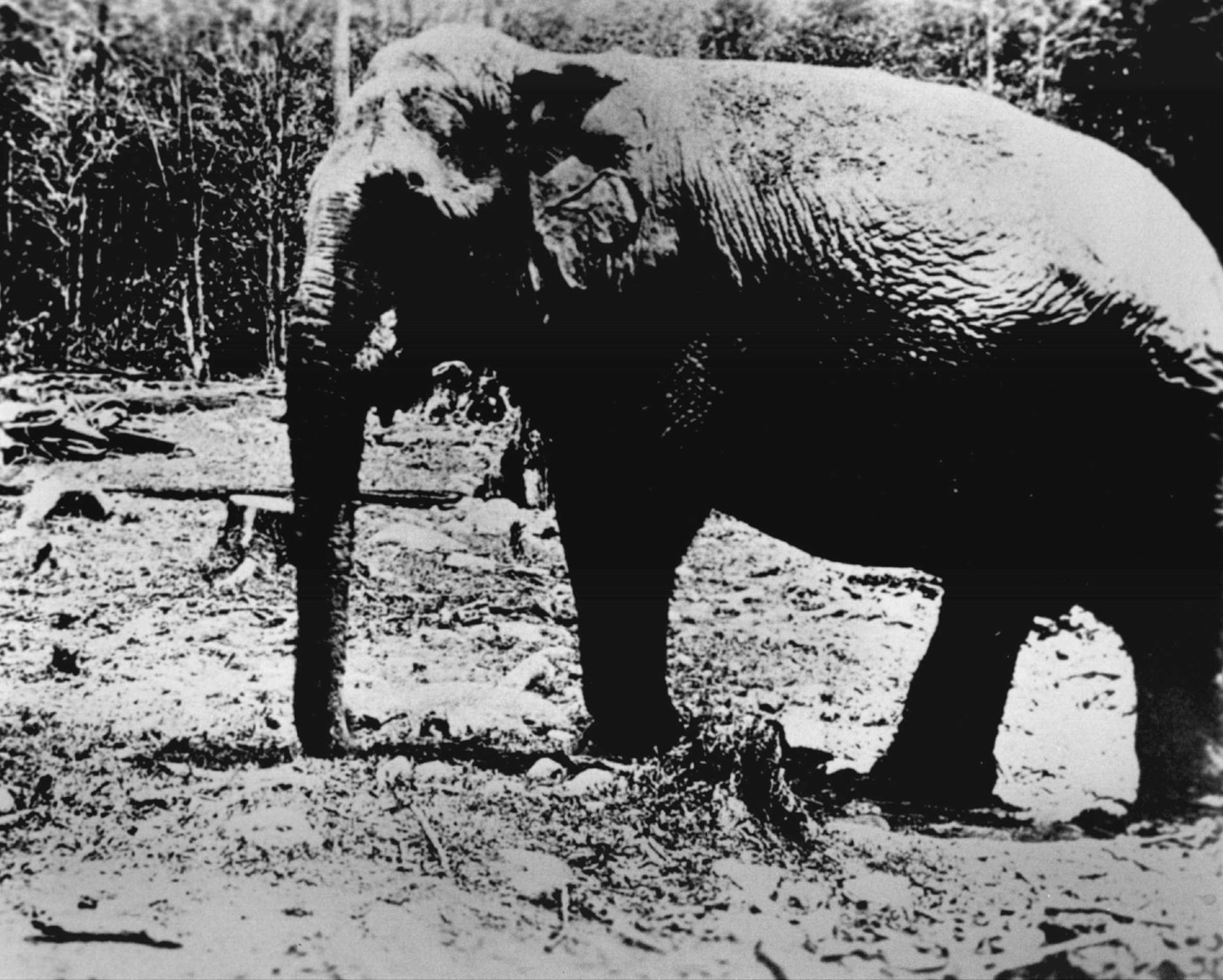 One of Main's elephants wanders the wreckage site confused and upset.