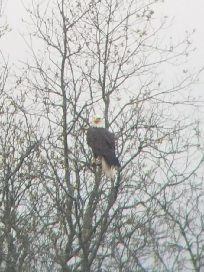 Isaac Parks took this wonderful photo of a bald eagle in his yard.