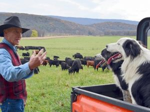 George Lake preparing to herd the cattle.